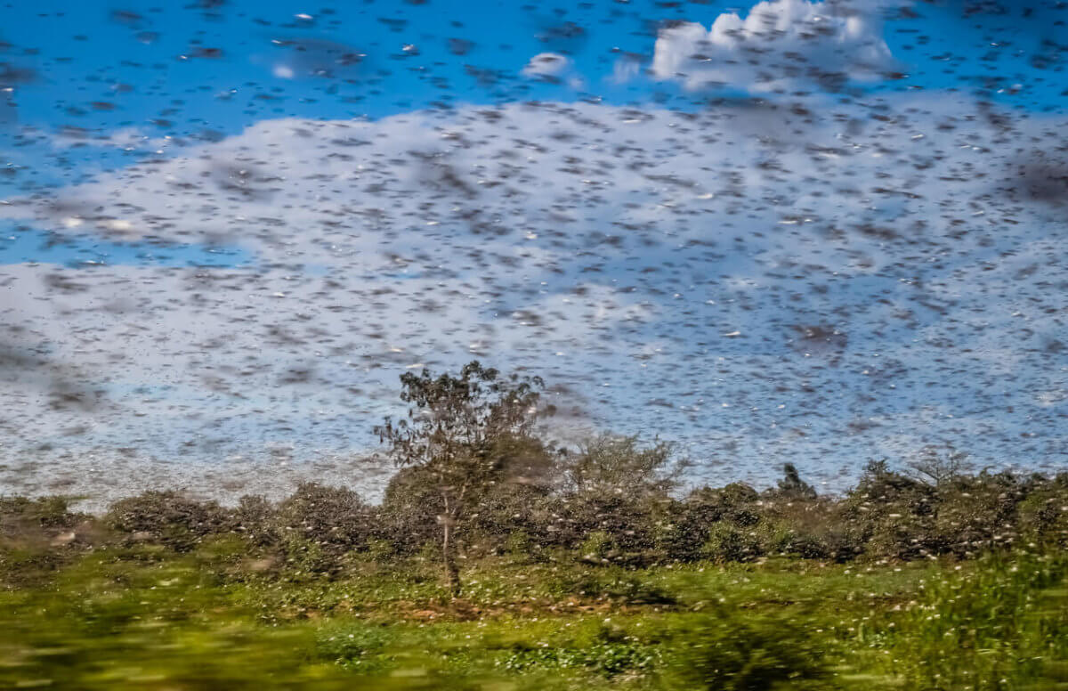 Can We Beat The African Locust Outbreak Using Weather?